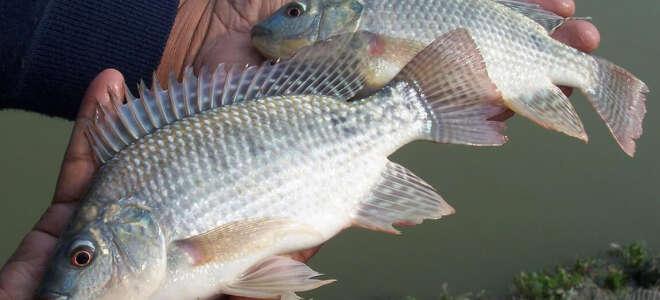 Рыба тилапия польза и вред для организма, изучение свойств