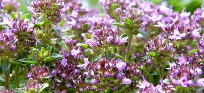 Чабрец (тимьян) лечебные свойства, изучаем пользу и вред