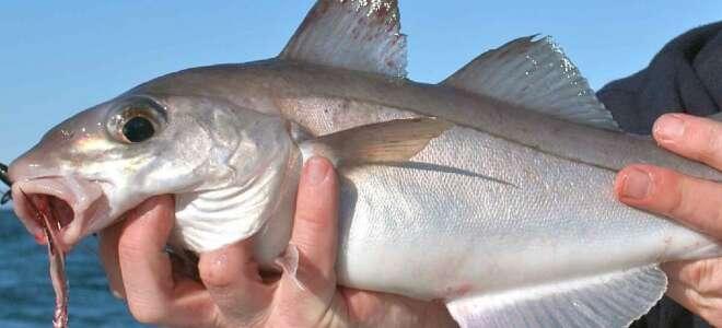 Пикша что за рыба, польза и вред для организма, исследования