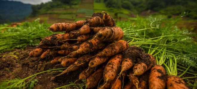 Морковный чай польза и вред, лечебные свойства для организма