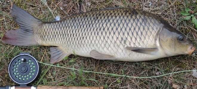 Рыба сазан польза и вред для организма, свойства икры
