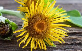 Девясил лечебные свойства, изучаем пользу и вред травы