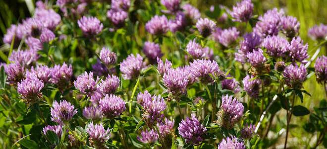 Клевер лечебные свойства, польза и возможный вред травы