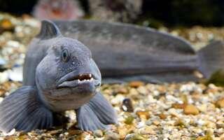 Зубатка что за рыба, польза и вред для здоровья, полезные свойства