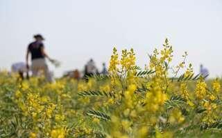 Сенна (кассия) польза и вред, лечебные свойства травы, исследования