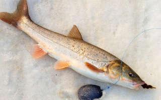 Навага что за рыба, полезные свойства, изучаем пользу и вред