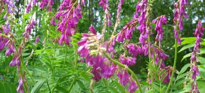 Красный корень (копеечник) лечебные свойства для мужчин и женщин
