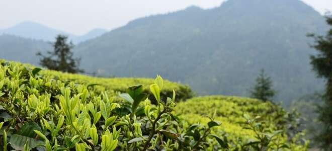 Белый чай польза и вред, полезные свойства при заболеваниях