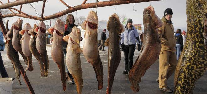 Налим полезные свойства и вред рыбы, печени, желчи