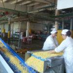 Сортировка кукурузных зерен