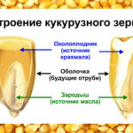 Так выглядит кукурузное зерно