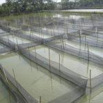 Выращивание тилапии в азиатских странах