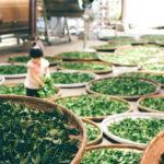 Сушка чайных листьев