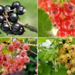 смородина виды ягоды