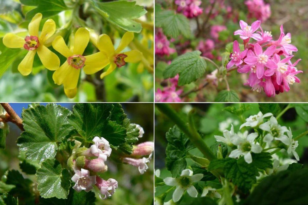 цветы, смородина
