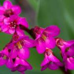 Цветы бадана (бергении)