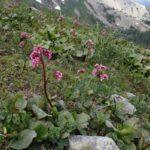 Трава бадан (бергения) в горах