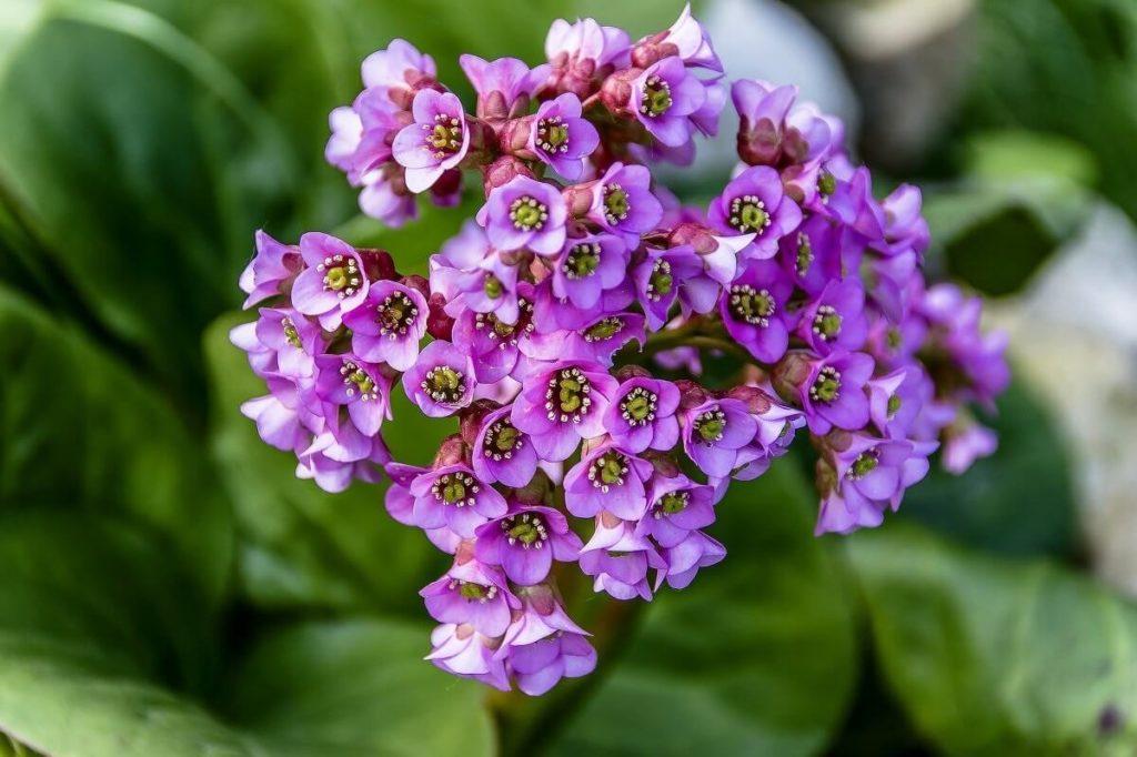 Цветы бадана толстолистного