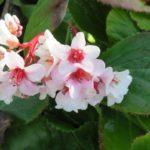 Цветы бергении реснитчатой