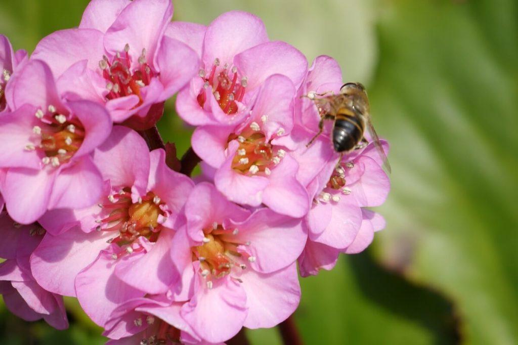 Соцветие сердцелистной бергении (бадана)