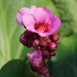 Цветок бадана (бергении)