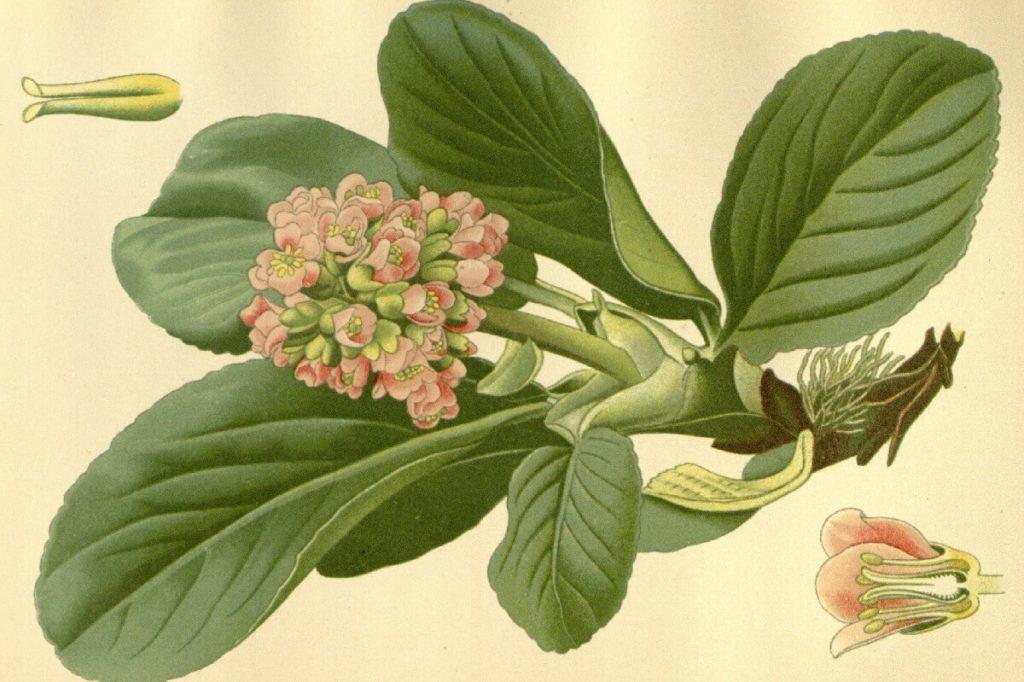 Бадан толстолистный (Saxifraga crassifolia)