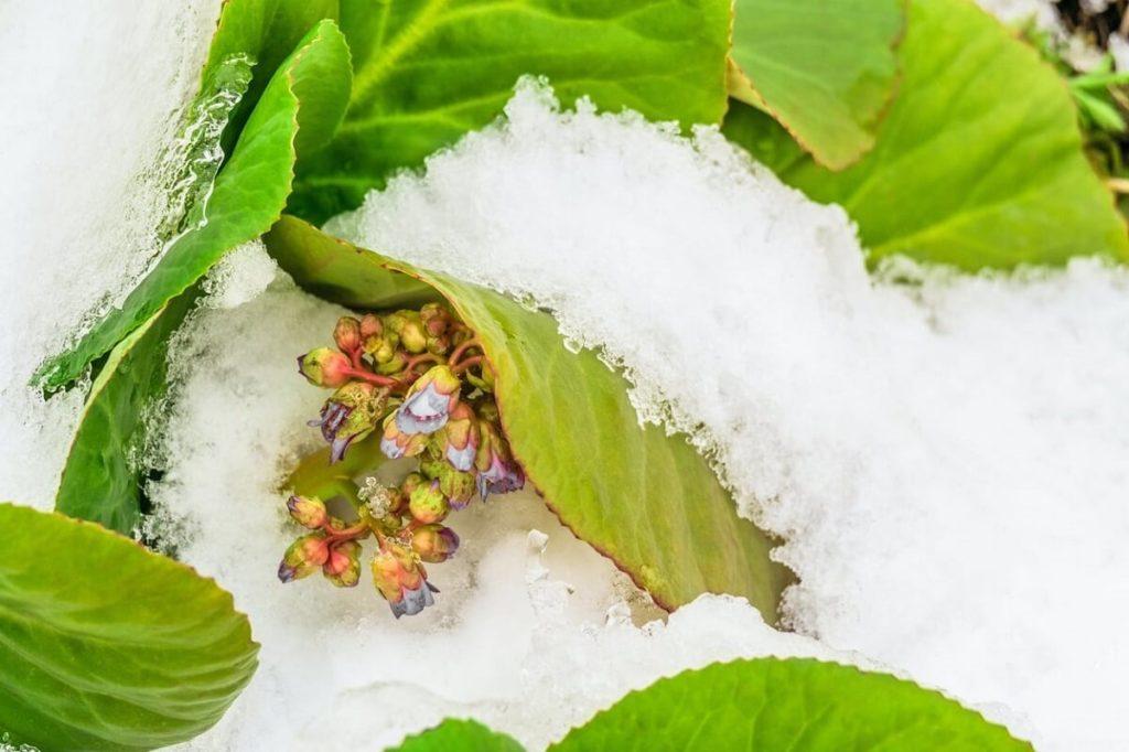 Цветы и листья бадана под снегом