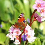 Бабочка на цветах бадана (бергении)