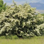 Дерево боярышника