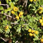 Зеленые плоды боярышника