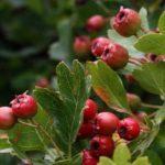 Зреющие плоды боярышника
