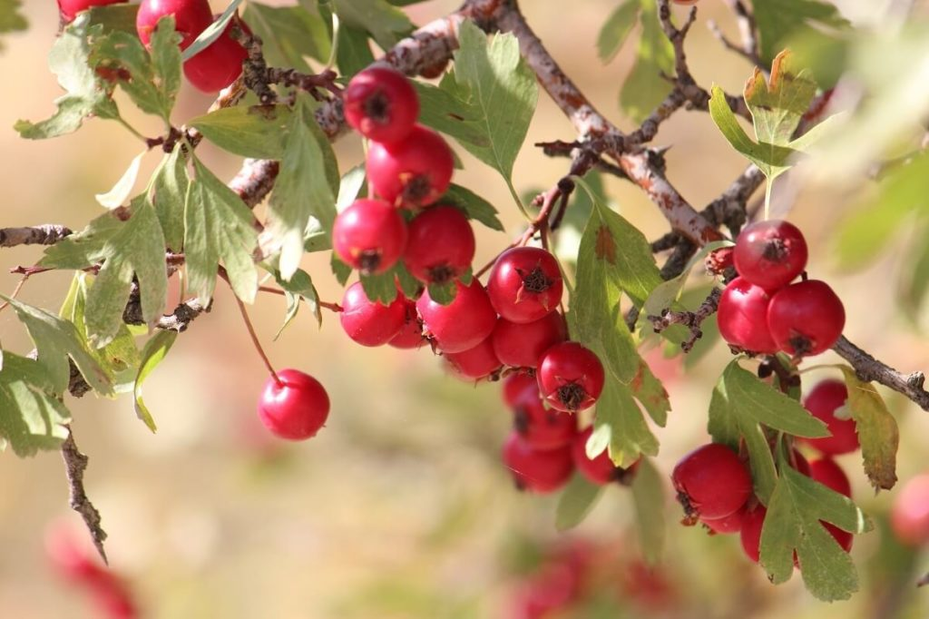Веточка плодов боярышника