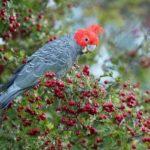Папугай на ветке боярышника с плодами