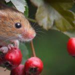 Мышь и плоды боярышника