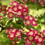 Цветущий декоративный боярышник