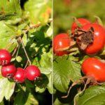 Плоды и листья боярышника и шиповника
