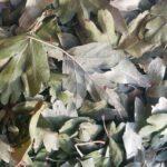 Сухие листья боярышника