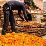 Подготовка собранных цветов календулы к сушке