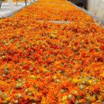 Сушка цветов календулы