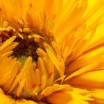 Распустившийся цветок календулы