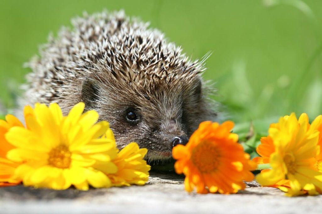 Ежик и цветы календулы