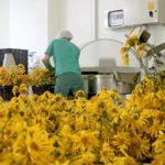 Переработка сухих цветов календулы