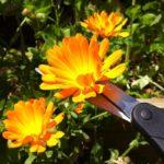 Срезание цветка календулы ножницами