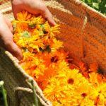 Собранные цветы колендулы в корзине