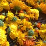 Сушка и ферментация цветов календулы