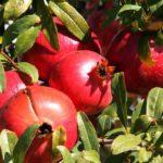Гранатовый куст со спелыми плодами
