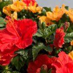 Красные и желтые цветы гибискуса
