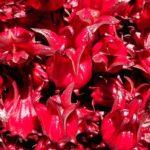 Урожай розеллы