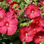 Цветы гибискуса болотного