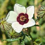 Цветок и плоды гибискуса тройчатого